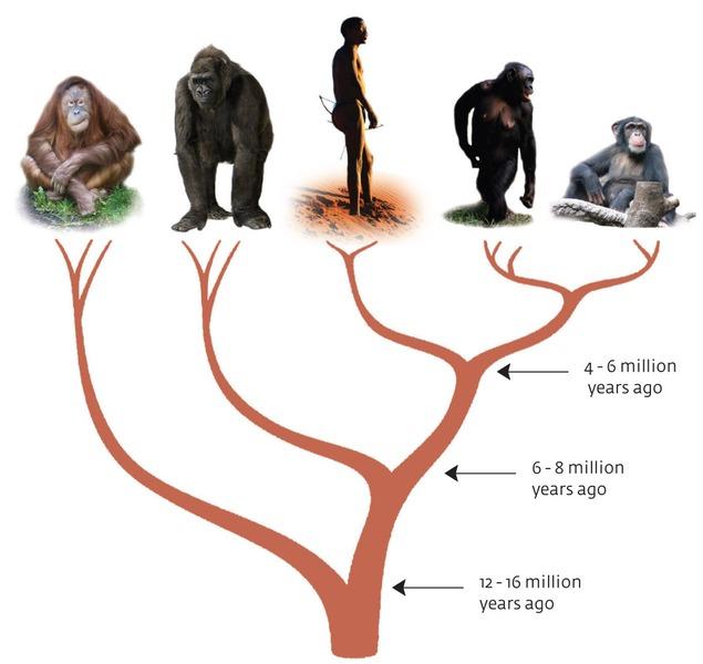 milestones of human evolution from paeontology & bioinformatics, Skeleton